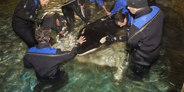 This file photo provided by Dolfinarium shows the female orca named Morgan as she is placed in a sling to be hoisted by crane into a container on a truck at the Dolfinarium in the Netherlands, ahead of her transfer by plane to amusement park Loro Parque on the Spanish island of Tenerife in Nov. 2011.
