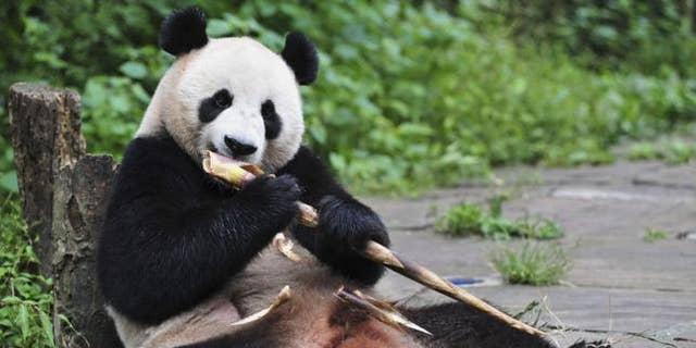Giant Panda Hu Bao eats bamboo at Bifengxia base in Ya'an, Sichuan province, in this file photo taken September 3, 2012. REUTERS/China Daily/Files