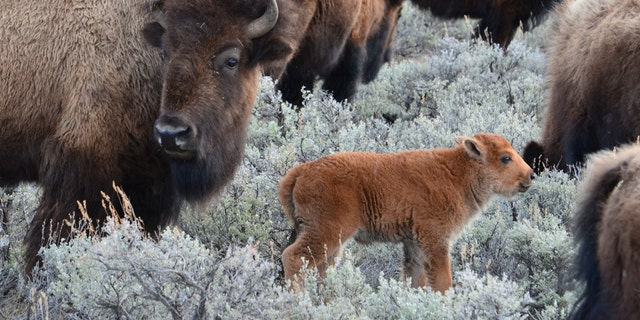 Yes, those baby bison are adorable. But please don't take them home with you.