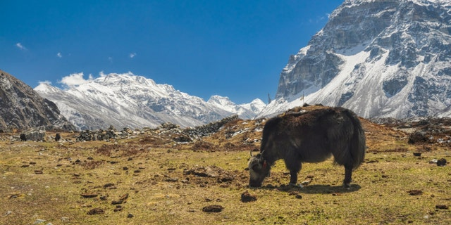 Picturesque view of yaks grazing on a meadow