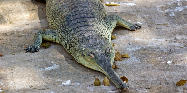 South-Indian fish-eating crocodile gavial, or gharial