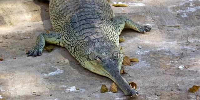 South-Indian fish-eating crocodile gavial, or gharial