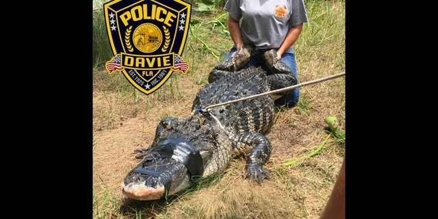 The alligator had a human arm found in its stomach. The arm was identified as belonging to Shizuka Matsuki.