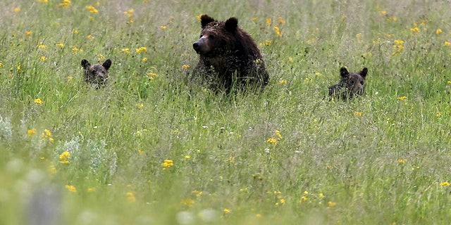 A grizzly bear and her two cubs is seen on a field at Yellowstone National Park in Wyoming.