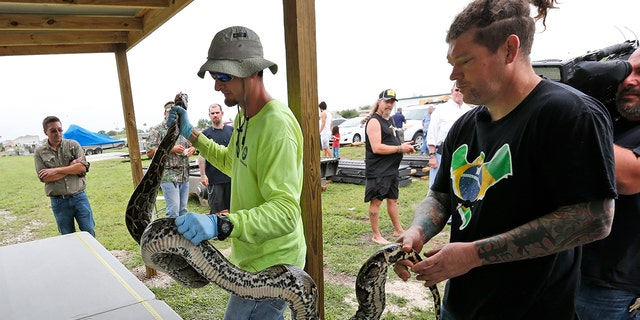 Python hunter Brian Hargrove, right, is helped by Marcos Fernandez, left, with the South Florida Water Management District, as they measure and weigh the 1,000th python caught in the Florida Everglades.