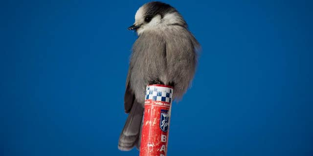In this Dec. 7, 2013, file photo, a gray jay, also called a whiskey jack, sits on a post in Lake Louise, Alberta. The Royal Canadian Geographic Society says its choice for Canada's national bird epitomizes the best of the country's national traits: smart, hardy and friendly. The Society says the gray jay was the winner of a two-year search for a fitting avian Canadian representative. (Jonathan Hayward/The Canadian Press via AP)