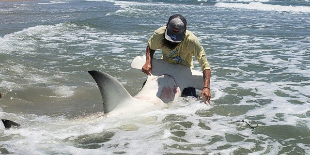 Adam quickly worked to release the shark back into the ocean after capturing a few pics of the massive fish.