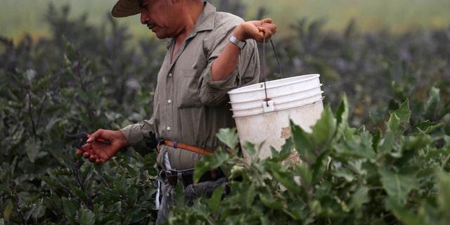 A farm worker picks eggplant in California