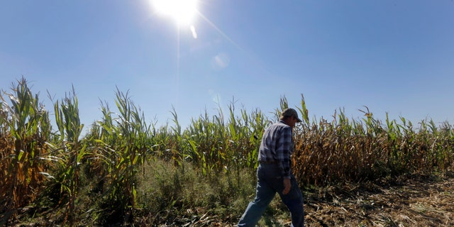 Larry Hasheider walks along one of his corn fields on his farm in Okawville, Ill.