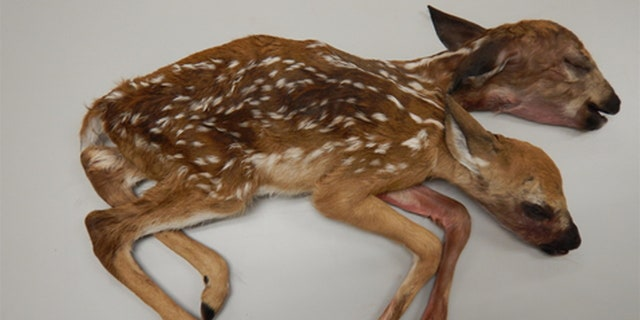 The conjoined fawns discovered in a Minnesota forest in 2016 is the first recorded case of a conjoined white-tailed deer brought to full-term and born, according to a recently published study.