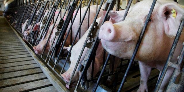 Pigs feeding at a farm in Indiana. (REUTERS/John Gress)