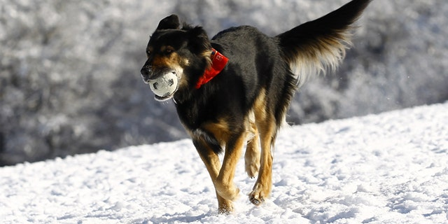 A dog fetches a ball through the snow at the Feldberg mountain in Schmitten, 25km (16 miles) north-west of Frankfurt, February 1, 2012. The cold snap which has gripped Europe and killed 60 people in the east is set to lift European power and gas prices further as energy demand for heating surges while temperatures are expected to stay below freezing point. German met office DWD expected the icy high pressure front from northern Russia to last well into next week.   REUTERS/Kai Pfaffenbach (GERMANY - Tags: ENVIRONMENT) - RTR2X5QS