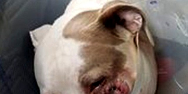 Ciroc, a Staffordshire Terrier, was shot in the jaw by a police officer on Saturday, July 8, 2017.