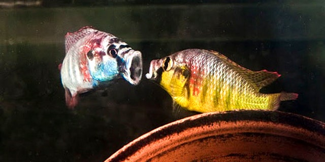 """Two male cichlids spar with each other by showing what big mouths they have. When two fish fight, all their movements are at least slightly out of sync. But when the foe is a fish's mirror image, the """"opponent's"""" actions are perfectly in time, which seems to trigger an element of fear."""