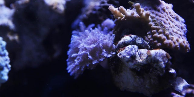 Matthews says pulsing xenia, a type of coral, was responsible for releasing the toxin into the air.