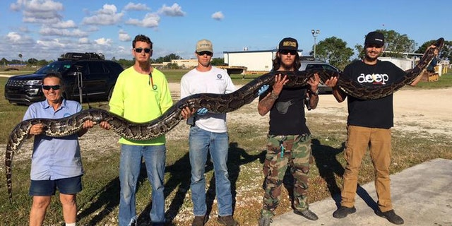 A python hunter in the Everglades snagged a 17-foot python early Friday morning, setting a new record.