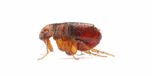 These nasty critters (the fleas, not your pets) cause painful and irritating bites and can even transmit tapeworm.
