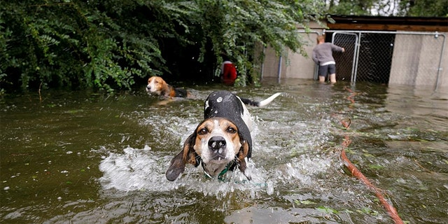 A group of panicked dogs in Leland, North Carolina are released after their owner fled rising flood waters in the aftermath of Hurricane Florence.