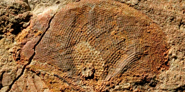 A half-billion-year-old fossil compound eye, showing exquisite detail of the visual surface (the individual lenses can be seen as darker spots).