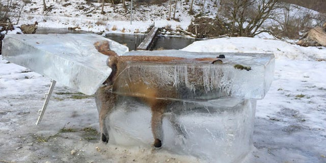 A block of ice containing a drowned fox who broke through the thin ice of the Danube river four days earlier sits on the bank of the Danube river in Fridingen, southern Germany, Friday, Jan. 13, 2017. (Johannes Stehle/dpa via AP)