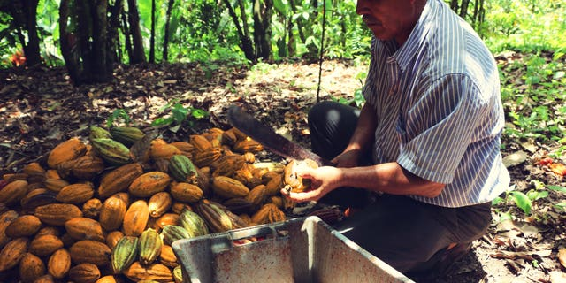 A farmer harvest a raw cacao pod.