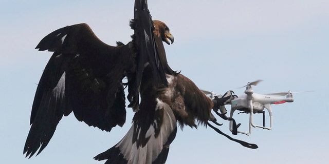 A golden eagle grabs a flying drone during a military training exercise at Mont-de-Marsan French Air Force base, Southwestern France, February 10, 2017. REUTERS/Regis Duvignau - RTX30HM1