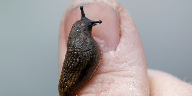 Man dies eight years after eating slug on a dare