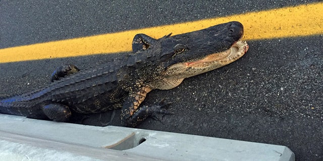 April 19, 2017: An alligator wound up on the Veterans Expressway in Tampa.