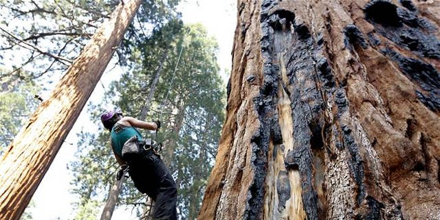 A tree biologist climbs a Giant Sequoia to retrieve a sensor that measures temperature and humidity near Visalia, Calif.
