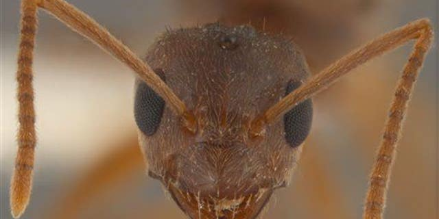 This queen Nylanderia pubens (ant) specimen in Starkville, Miss., was not part of the study.