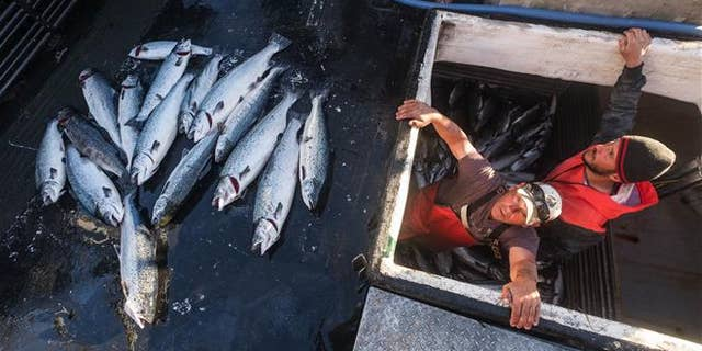 Two fishermen with the 16 farm-raised Atlantic salmon they caught fishing off Point Williams, Wash., on Tuesday.
