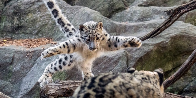 A female snow leopard cub leaps towards another leopard at the Bronx Zoo. The zoo announced Thursday that the snow leopard cub has made its public debut..
