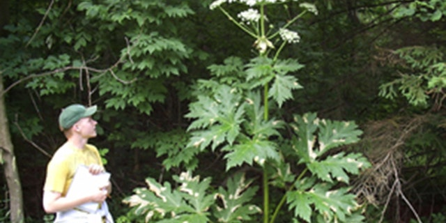Giant hogweed can grow up to 14 feet tall.