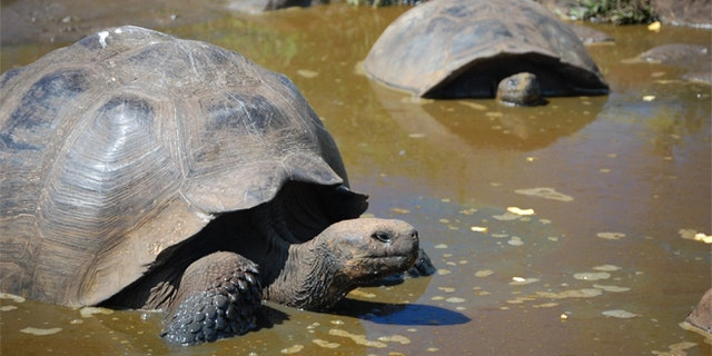 Researchers plan on bringing in relatives of the extinct tortoises of Madagascar in order to bring back the lost species.