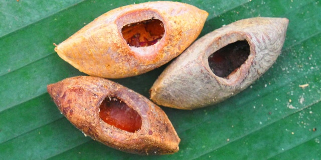These are nuts bearing the characteristic tooth-marks of Uromys vika.