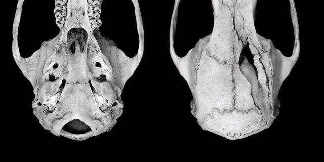 Giant rat skulls
