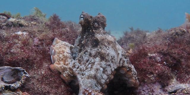 A gloomy octopus (<em>Octopus tetricus</em>) in Jervis Bay, Australia.