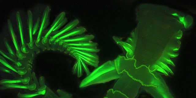 Here, the parchment tube worm glows green under a black light. Its natural blue glow is difficult to capture on camera.