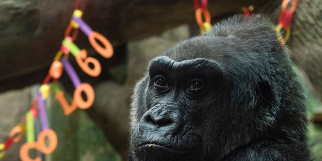 Colo, the world's first gorilla born inside a zoo, sits inside her enclosure during her 60th birthday party.