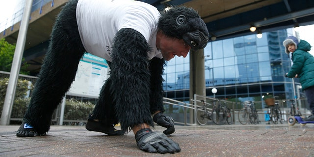 Tom Harrison also known as Mr Gorilla makes his way crawling along part of the London Marathon course in aid of the charity 'Gorilla Organization' Thursday, April 27, 2017. The London Marathon started five days ago, and Tom Harrison is nearly done as he crawls wearing his gorilla suit. The man dubbed Mr. Gorilla is raising money for the Gorilla Organization _ so far more than 22,000 pounds ($28,500) have been pledged. (AP Photo/Alastair Grant)