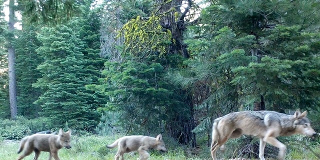 JUNE 29: Remote camera shows a female gray wolf and two of the three pups born this year in the wilds of Lassen National Forest in Northern California.