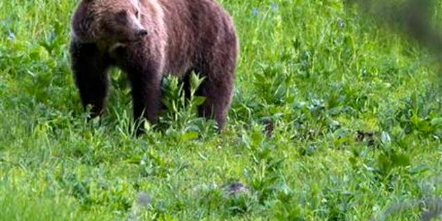 FILE - This July 6, 2011 file photo shows a grizzly bear roaming near Beaver Lake in Yellowstone National Park, Wyo. Biologists counted more grizzly bear deaths in or removals from the Yellowstone region in 2015 than any year in recent memory but aren't worried about the species' long-term survival in the area.  (AP Photo/Jim Urquhart, File)