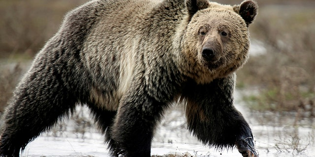 A grizzly bear (not pictured) attacked Amber Kornak in northwestern Montana.
