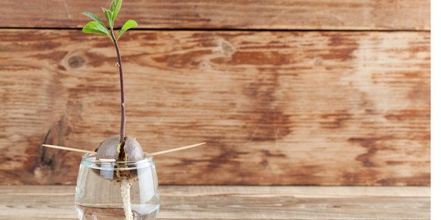 """Avocado seed with root and sprout with leaves in glass with water -€"""" fourth growth stage of avocado plant"""