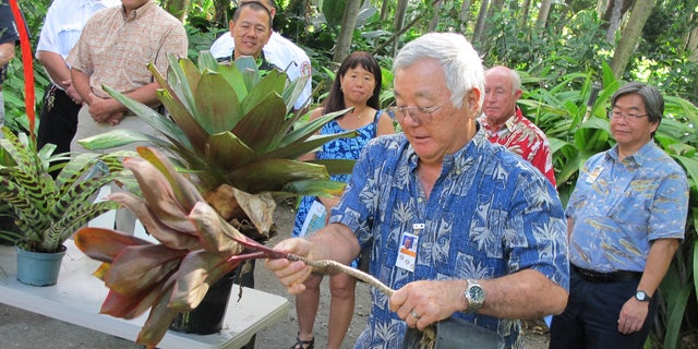 Stan Oka, urban forestry administrator for the Honolulu Department of Parks and Recreation, tips a potted ti plant to demonstrate how people should remove standing water from around their homes in Honolulu on Monday, Nov. 30, 2015. The number of people in Hawaii infected by dengue fever continued to rise, and officials asked the public to help limit the spread of the virus. (AP Photo/Cathy Bussewitz)