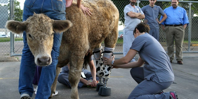 Hero is fitted with new prosthetic legs Wednesday, May 21, 2014, in Houston.
