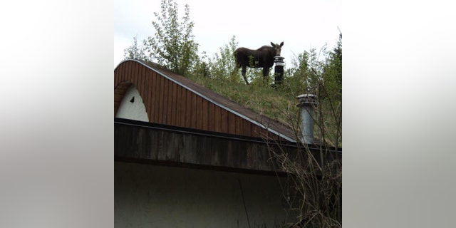 No, that's not a reindeer on the roof, it's a moose.
