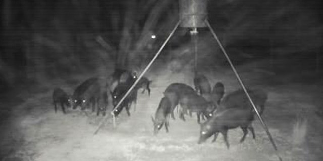 The wild pigs will often forage for food at night.