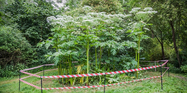 Giant hogweed can grow up to 14 feet tall and has green stems with purple splotches and white hairs.