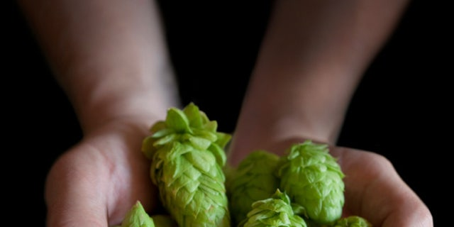 Fresh Hops Ready to be used in a batch of Home Brew... India Pale Ale.